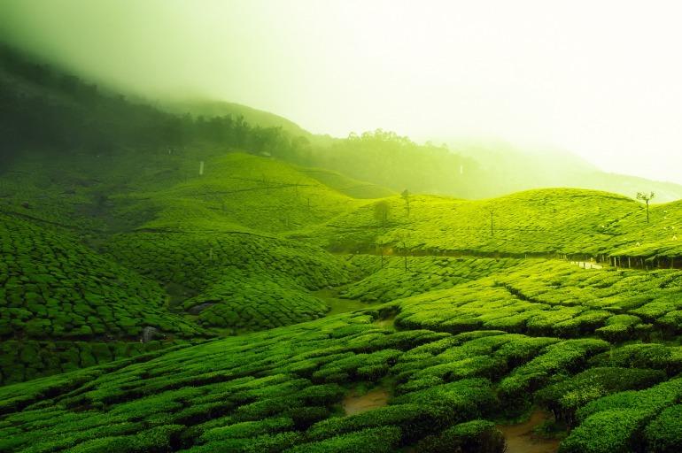 tea-plantation-2220475_1920.jpg